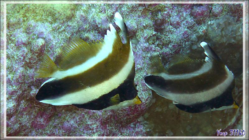 Poisson cocher du Pacifique, Hénioche bouche d'or, Taurillon à trois bandes, Threeband pennantfish (Heniochus chrysostomus) - Passe sud Tumakohua - Atoll de Fakarava - Tuamotu - Polynésie française