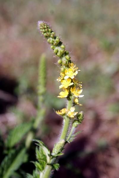 Fleur-sauvage-17097.JPG