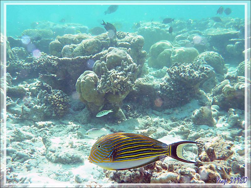 Chirurgien clown ou Chirurgien à lignes bleues, Lined surgeonfish (Acanthurus lineatus) - Moofushi - Atoll d'Ari - Maldives