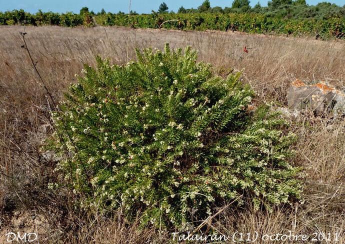 Daphne gnidium - garou - Saint-Bois