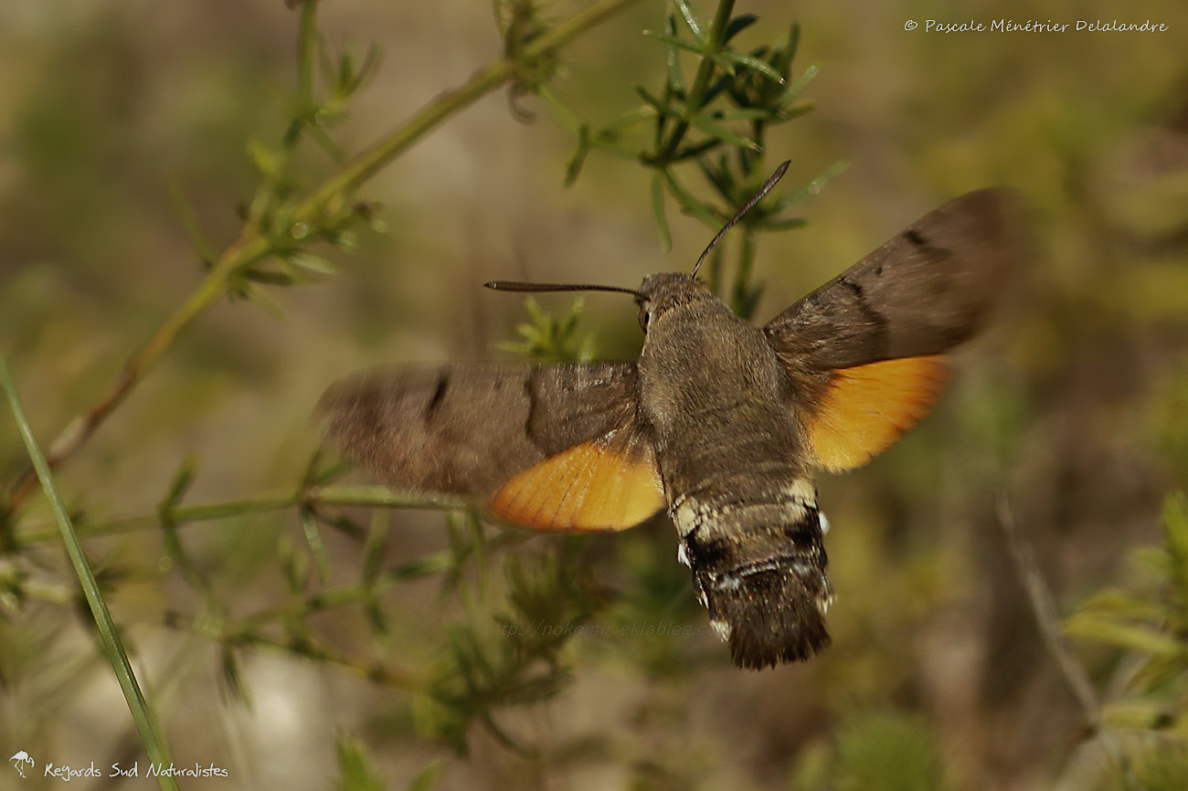 Moro sphinx ou Sphinx colibri ou Sphinx du caille-lait