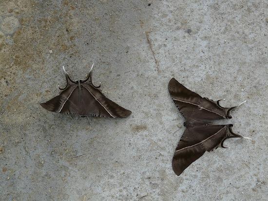de drôles de papillons