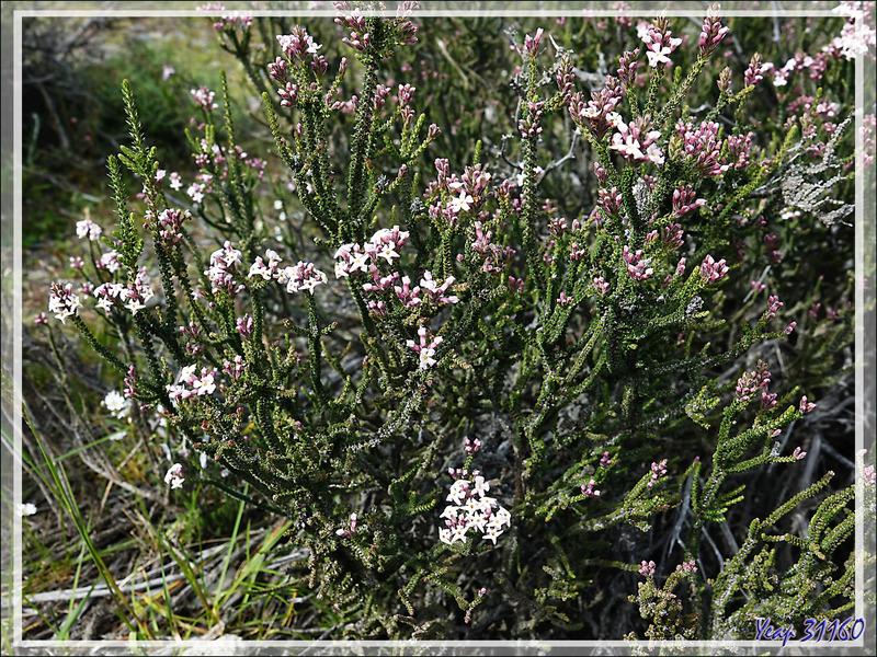 Buisson noir, Black bush, Mata negra (Mulguraea tridens ou Junellia tridens) - Torres del Paine - Patagonie - Chili