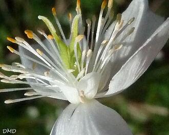 Isopyrum thalictroides - Thalictrella thalictroides -- thalictrelle faux pigamon