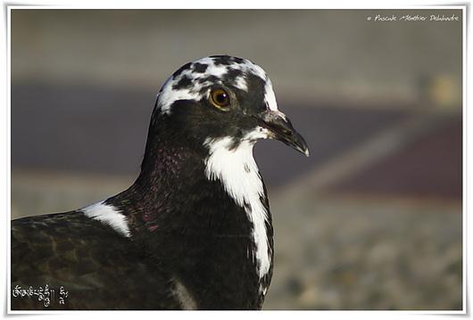 Pigeon hybride