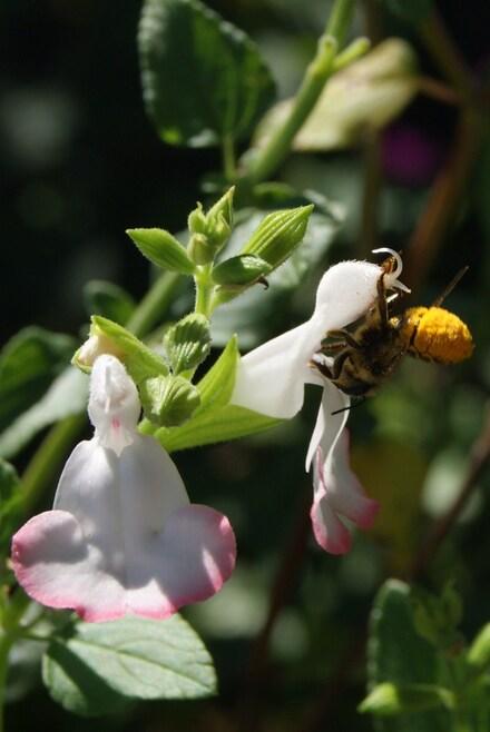 Une abeille qui récolte le pollen sur son abdomen