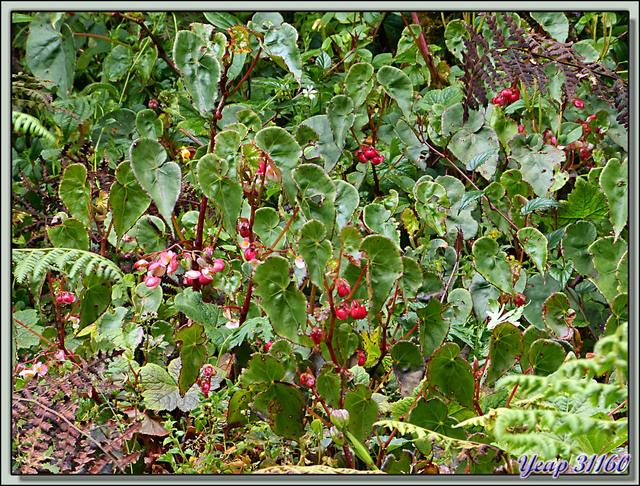 Blog de images-du-pays-des-ours : Images du Pays des Ours (et d'ailleurs ...), Bégonias sauvages - Cerro de la Muerte - Costa Rica