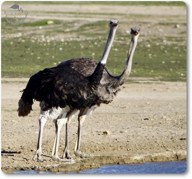 Autruche d'Afrique (Struthio camelus) - Struthioniformes