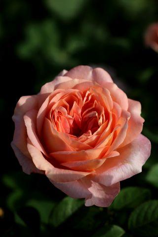 Les roses de Warren : Happy Summers