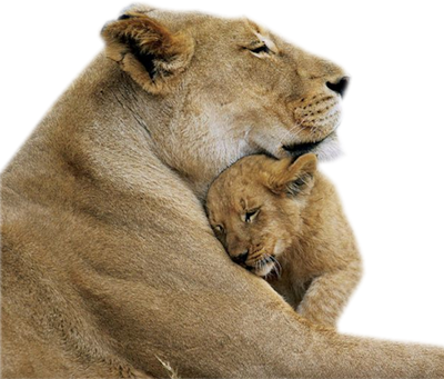 tube lion, lionne, lionceaux