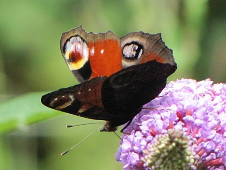 les-papillons-5504.JPG