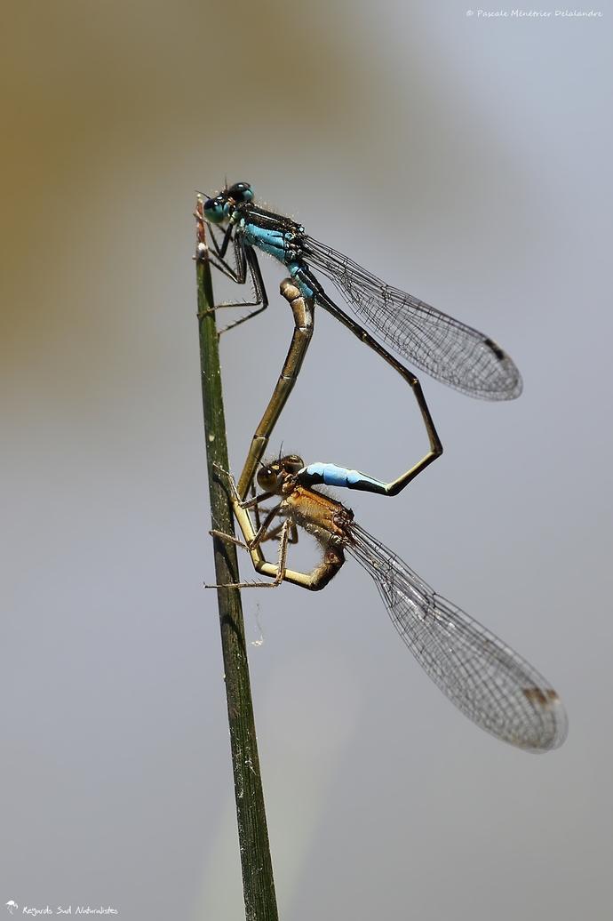 Ischnures élégantes (Ischnura elegans) : ♂ mature & ♀ immature de type C
