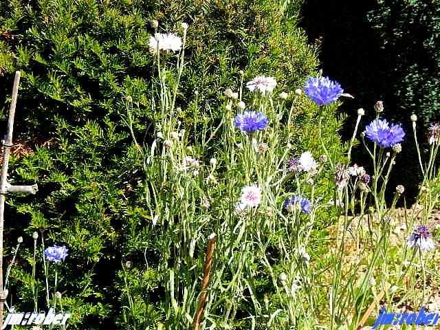 l'histoire du bleuet sauvage ou bleuet des champs