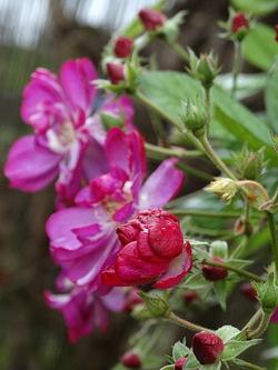 Roses de l'an