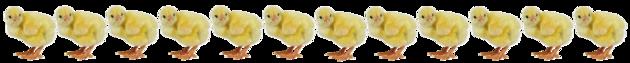 Poussins de Pâques