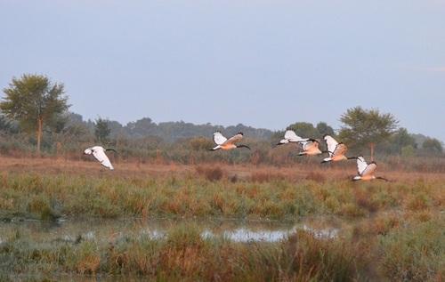 ... ibis royaux au lever du soleil...