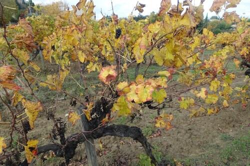 La vigne en jaune