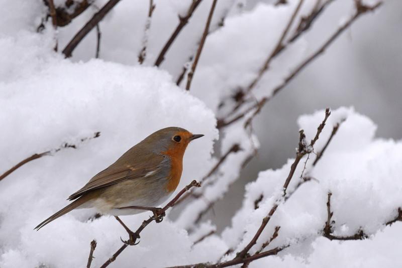 Nos visiteurs d'hiver (2)