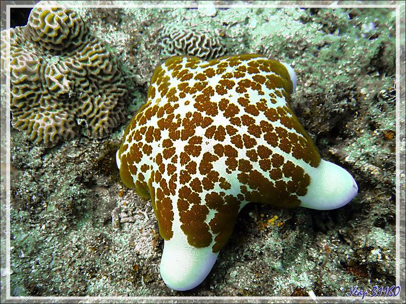 Etoile-coussin granuleuse, Granular starfish (Choriaster granulatus) - Spot Sugar Man - Tsarabanjina - Mitsio - Madagascar