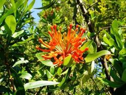 L'arbre de feu du Chili
