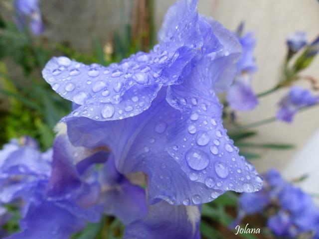quelques mots iris mauve pluie