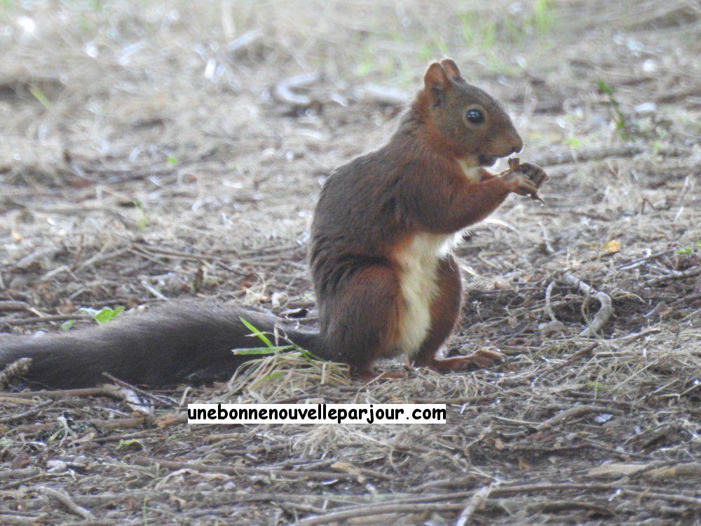 Les écureuils de la Pointe des Vergnes, à Soustons...