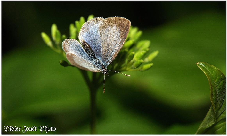 Azuré des Nerpruns (1) - Celestrina argiolus
