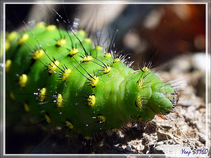 Chenille du Papillon Petit-Paon de nuit (Saturnia pavonia) - Artigue - 31