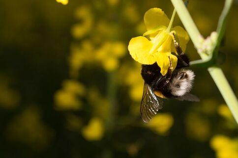 Une abeille butine dans un champ de fleurs près de Konigsborn, Allemagne, 26 avril 2017