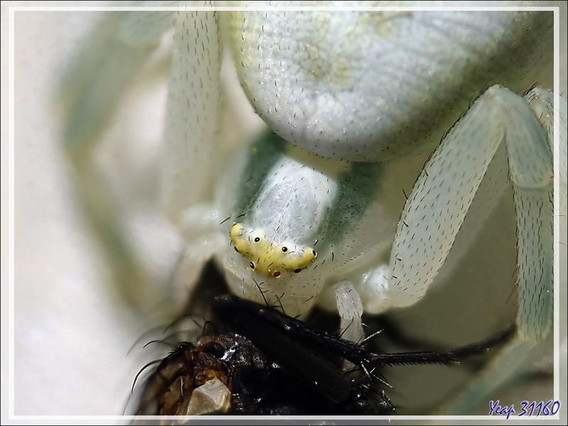 L'Araignée crabe Thomise variable a perdu un peu de ses couleurs d'origine (Misumena vatia) et sa proie - Lartigau - Milhas - 31
