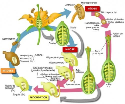 reproduction sexuée fleur