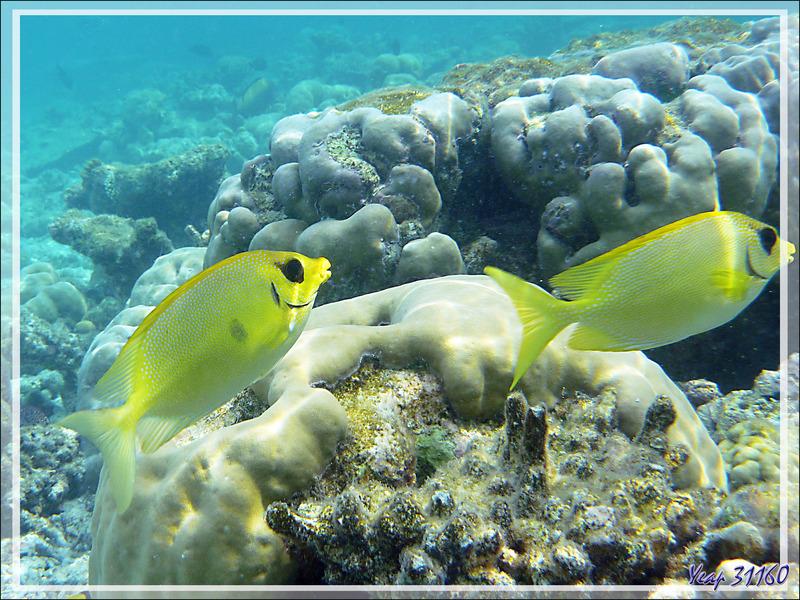Poisson-lapin tacheté ou à points bleus, Picot corail, Blue-spotted spinefoot (Siganus corallinus) - Moofushi - Atoll d'Ari - Maldives