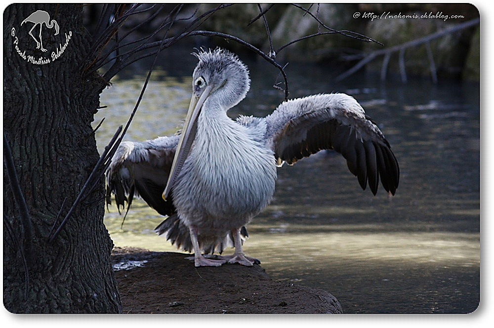 Pélican à dos rosé juvénile (Pelecanus rufescens)