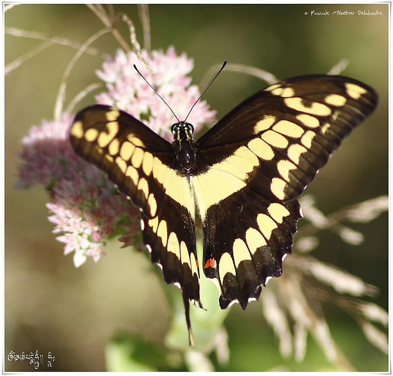 Grand porte-queue (Papilio cresphontes) - Papilionidae