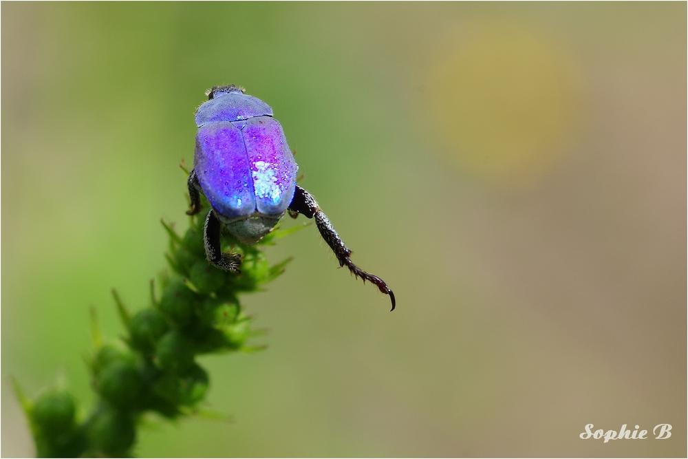 L'aérobic de l'hoplie bleue .