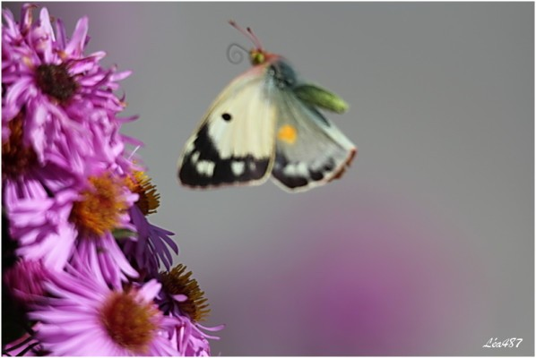 Papillons-2-3155-souci.jpg