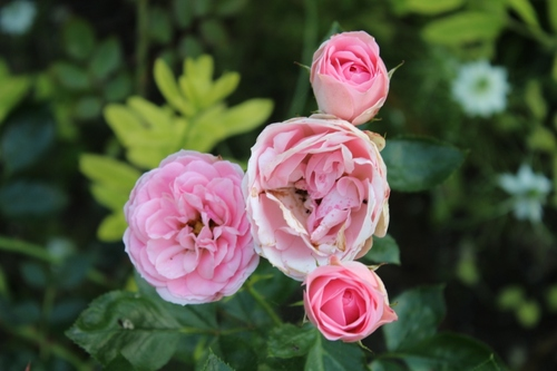 Point roses