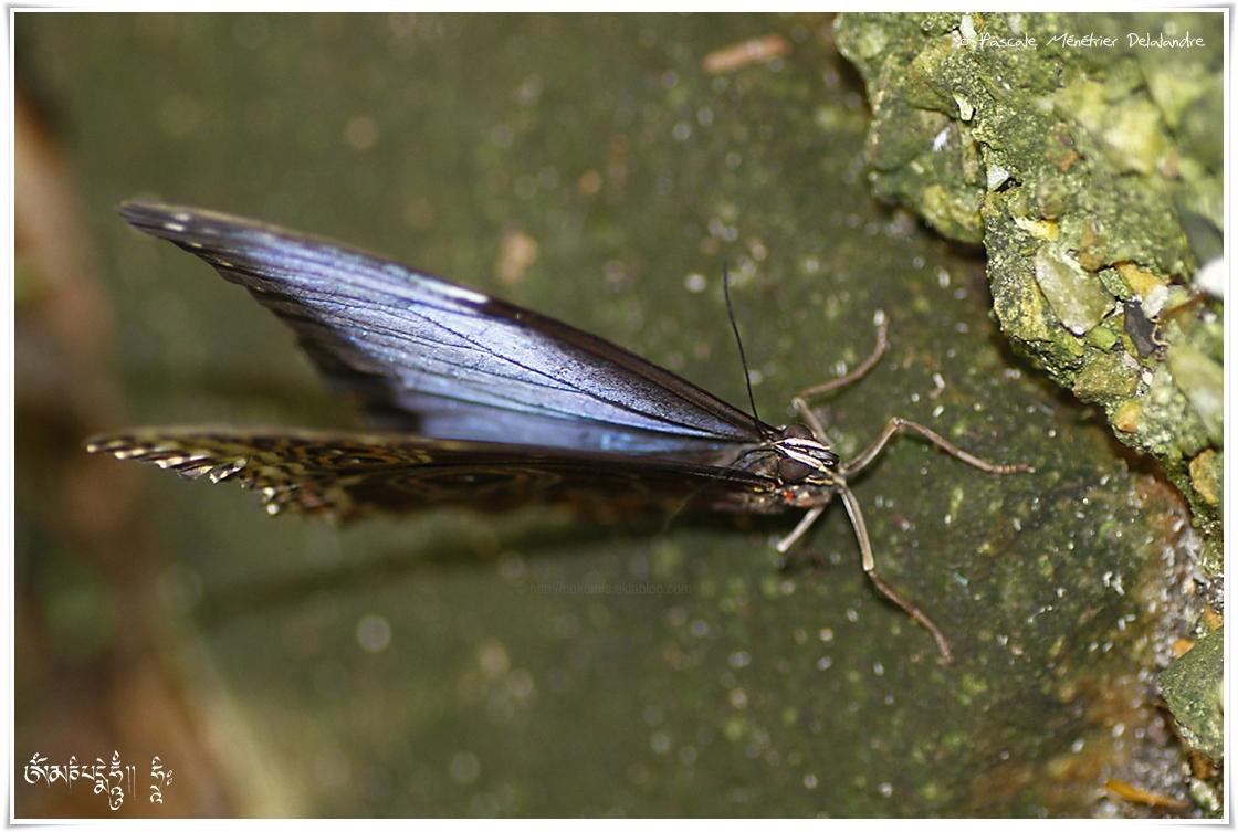 Morpho peleides - Nymphalidae