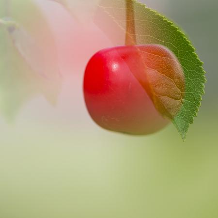 Les cerises ...