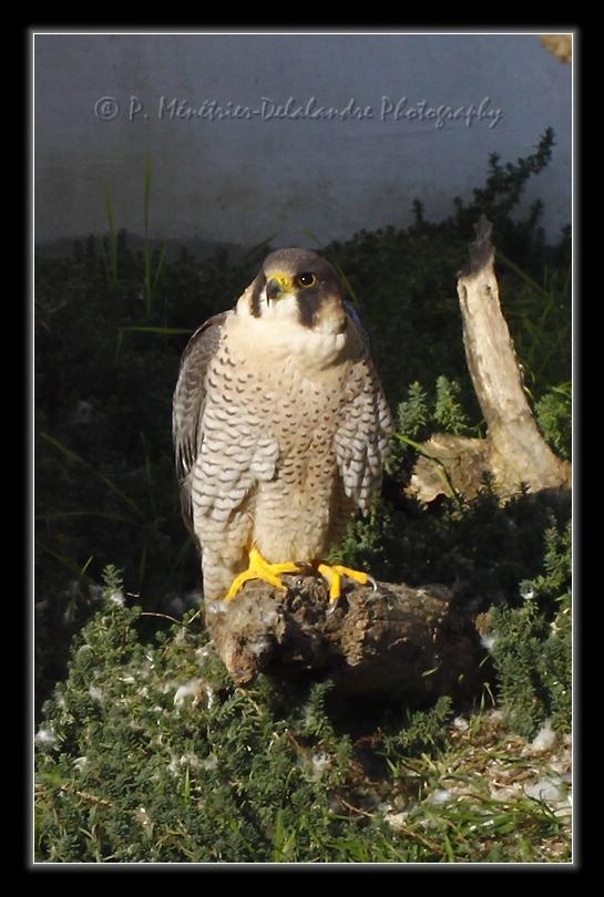 Faucon pélerin (Parc ornithologique du Pont de Gau - Bouches du Rhône - 13)