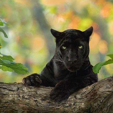 Rares panthères noires ...