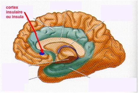 http://lancien.cowblog.fr/images/Cerveau2/insula.jpg