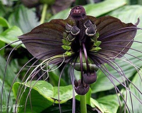 Orchidée chauve-souris