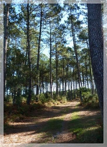 En forêt Landaise