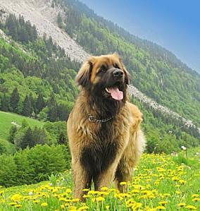 1-1-Leonbergs-chiens