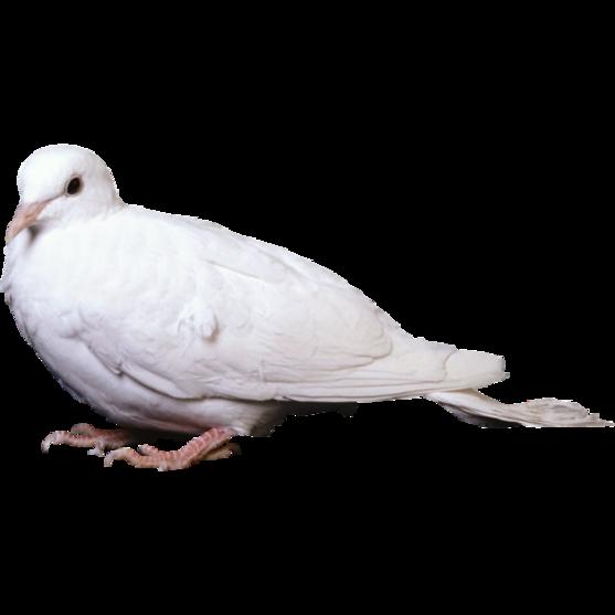 Colombes et Pigeons Série 2