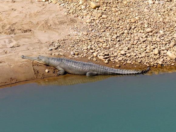 les crocodiles du Népla