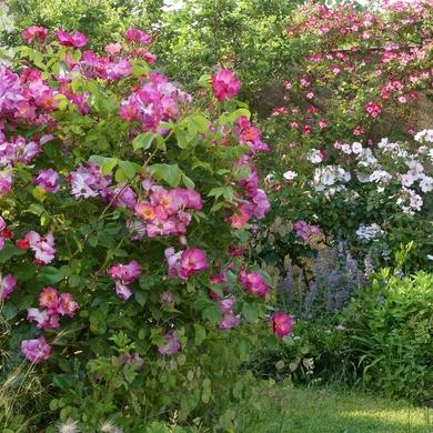 Juin dans le petit jardin...