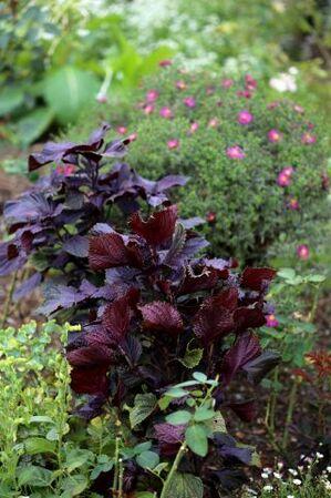 Fête des plantes à La Glanerie : Vente de vivaces au profit de la Roseraie
