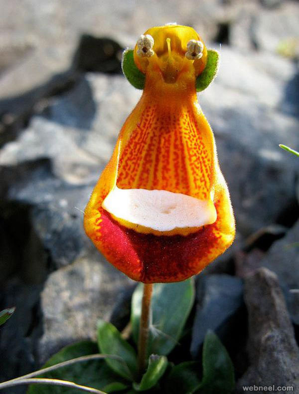 amazing flowers happy alien calceolaria uniflora